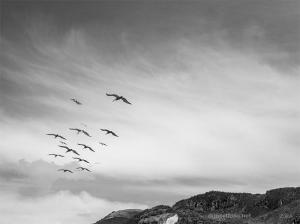 New - Pelicans in Flight II BW