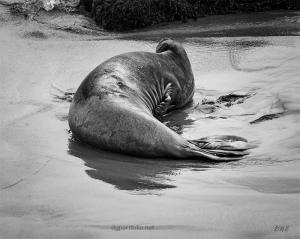 Elephant Seal X BW